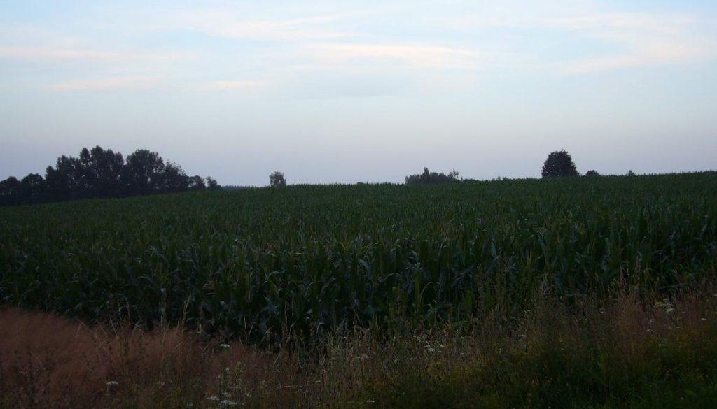 kukurydza